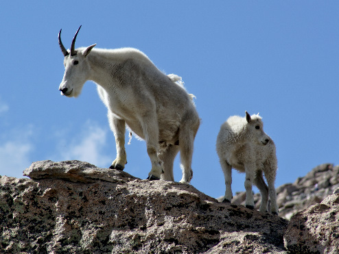 goats on mt. evans, co
