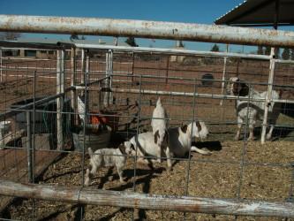 Mama Goat, Tater & Kids