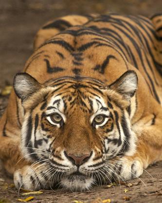 Bengal Tiger Nashville Zoo