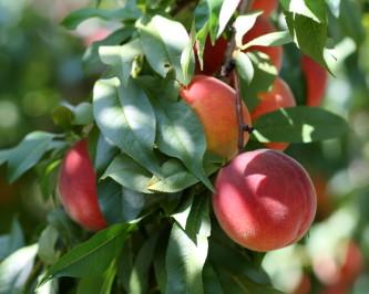 peaches in tree
