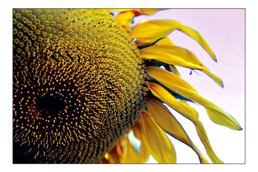 Sunflower-Eye-copy
