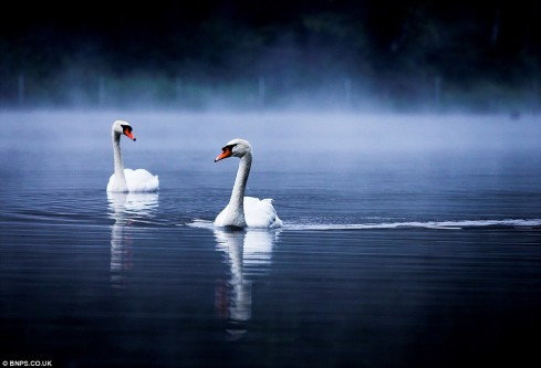Swans on a Misty Lake, by Alex Saberi