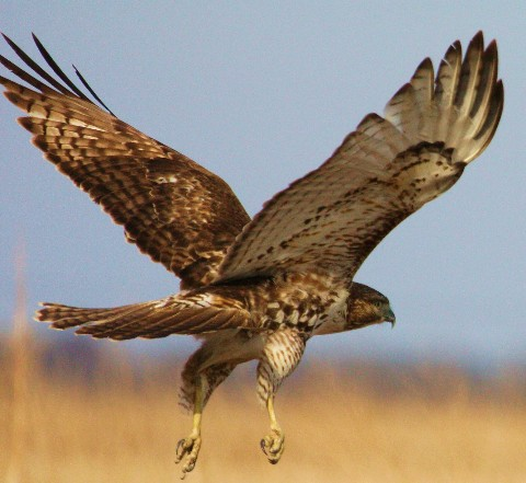 red-tailed-hawk-in-flight