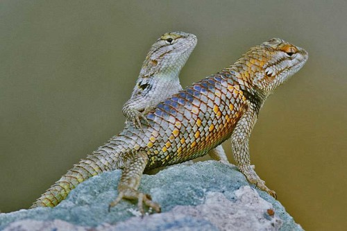 Spiny lizards, Arizona Sonoran Desert
