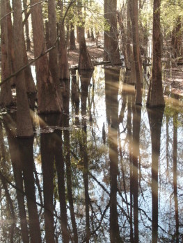 South Carolina Swamp Cypress Trees