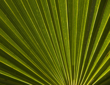saw-palmetto-leaf-2