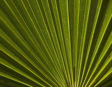 saw-palmetto-leaf-2