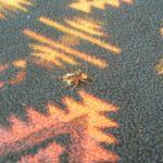 Squashed Palmetto Bug