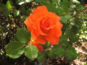 Orange Rose from Ma & Dad's Garden 2016