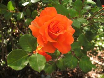 Orange Rose from Ma & Dad's Garden 2016