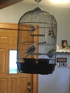 Mon Ami #? (family name handed down throughout the budgies)